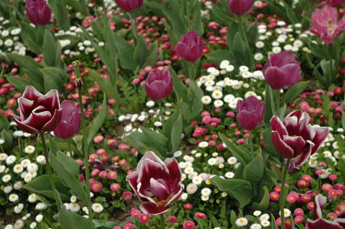 Makuramis galerie photos fleurs parterre pourpre - Parterre de fleurs vivaces ...